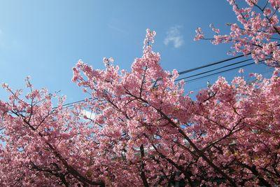 """""""早咲きの桜、河津桜と、おいしいものを喰らいに、河津へと、行って来ました。"""
