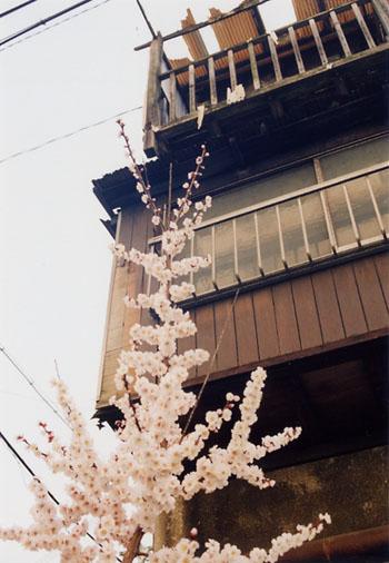 軍艦アパートの桜