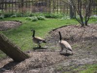 geese_convert_20090424103718.jpg