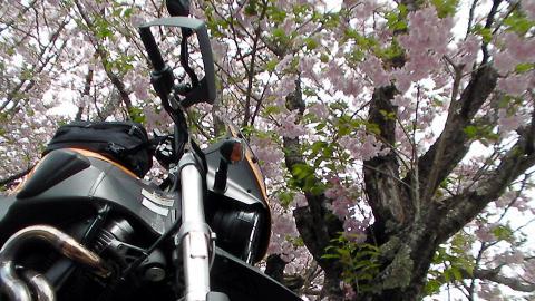 遅咲きの桜と