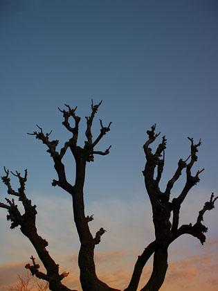 P2115756_天の木.jpg