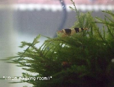 20090323bee-shrimp1.jpg