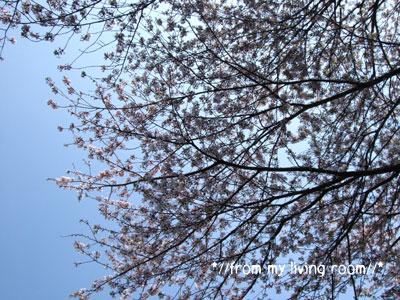 20090411sakura1.jpg