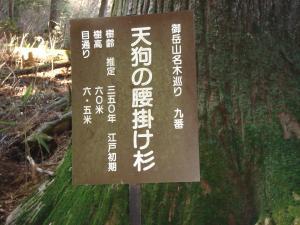 天狗の腰掛杉2