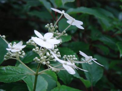 大菩薩の花1