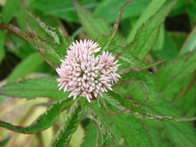 大菩薩の花2