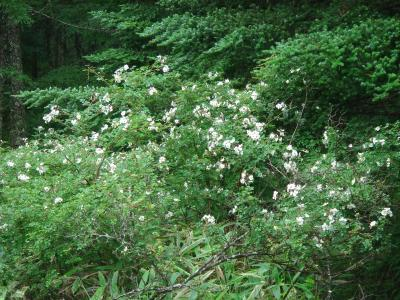 大菩薩の花5