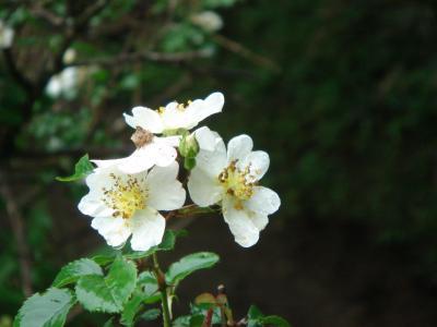 大菩薩の花6