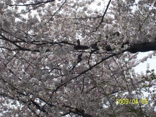 我がふるさとの桜