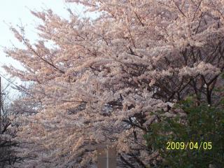 夕焼けのふるさとの桜