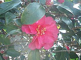 大高酵素九州販売株式会社の庭に咲いてます
