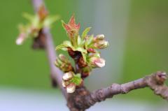 タカサゴ開花