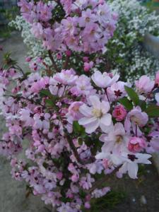 ちっさい桜