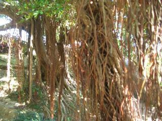 がじゅまるの木