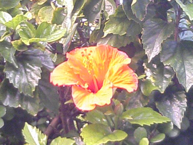 沖縄の黄色のハイビスカス