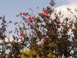 沖縄の赤のハイビスカス