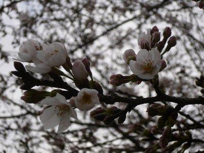 03・27桜