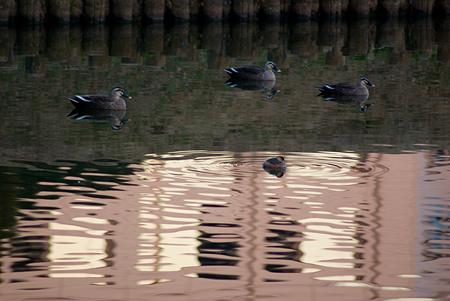 落合公園の鳥-4
