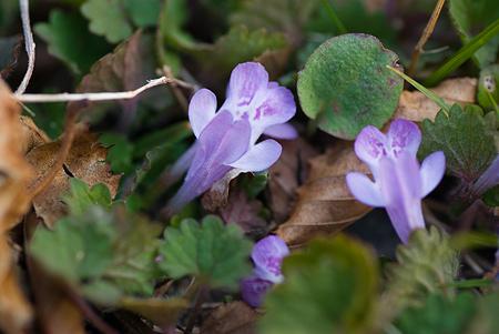 松平郷の花-5