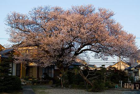 覚成寺の桜-1