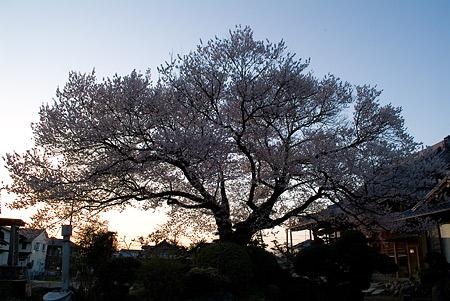 覚成寺の桜-6