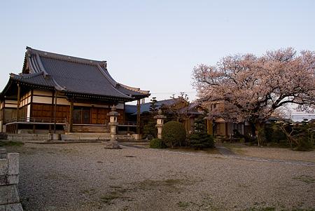 覚成寺の桜-7