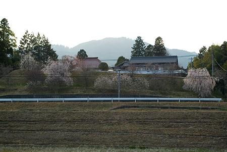 金剛寺のしだれ桜-13