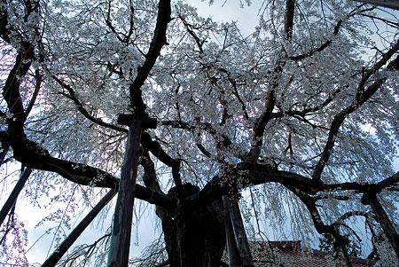 金剛寺のしだれ桜-4