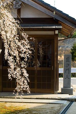 金剛寺のしだれ桜-6