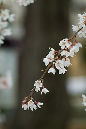 金剛寺のしだれ桜-8