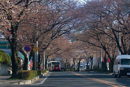 近所桜3月-1