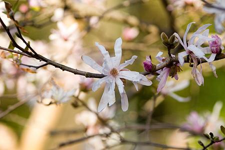 近所桜3月-5