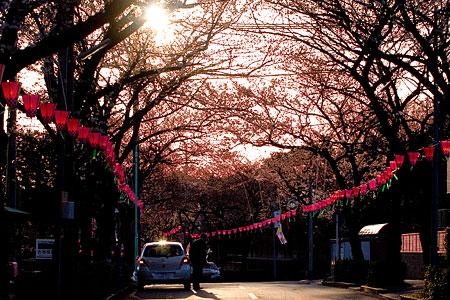 近所桜3月-6