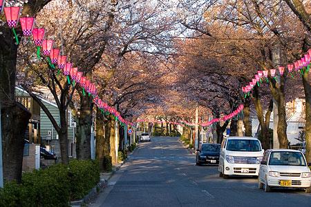 近所桜3月-7