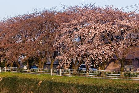 近所桜3月-8