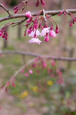 平和公園桜-10