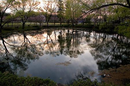 平和公園桜-13