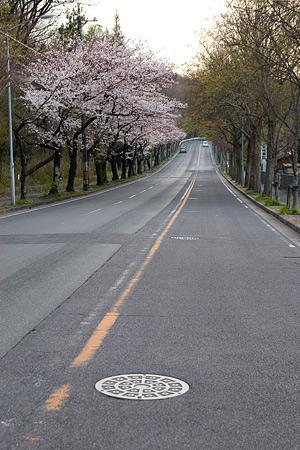 平和公園桜-4