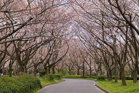平和公園桜-5