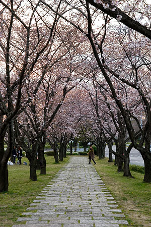 平和公園桜-6
