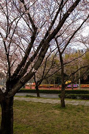 平和公園桜-8