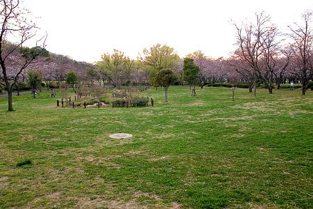 平和公園桜-9
