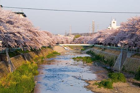 香流川桜2-2