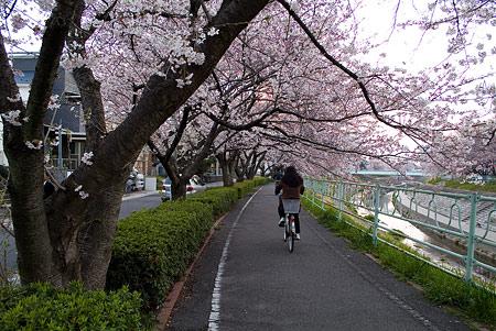 香流川桜2-3