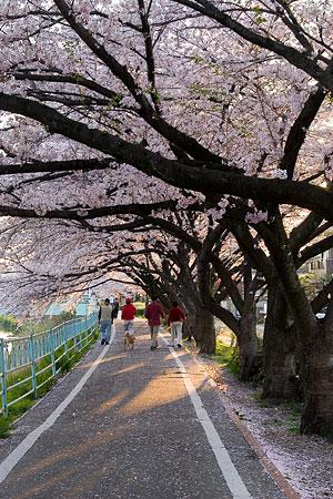 香流川桜2-8