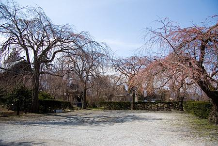 塩尻松本桜-13