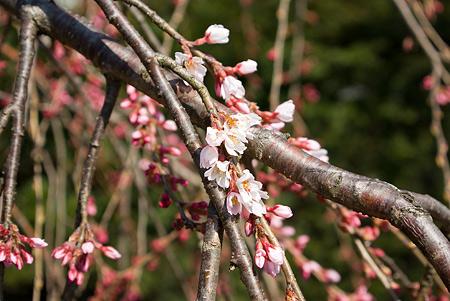 塩尻松本桜-14