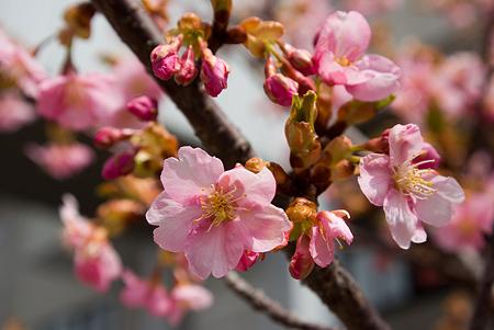塩尻松本桜-5