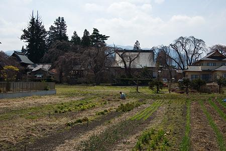 塩尻松本桜-7