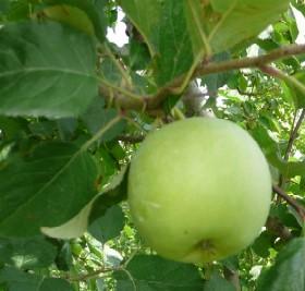 リンゴの赤ちゃん